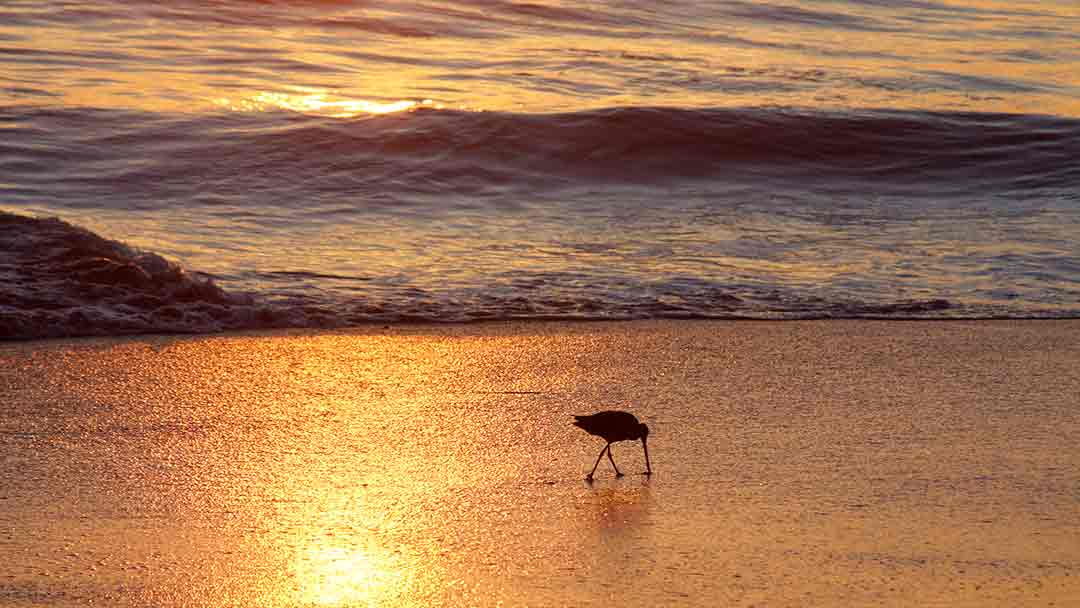 sandpiper silhouette feeding in the sand that appears orange from reflected sunset